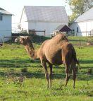 camel in Lancaster